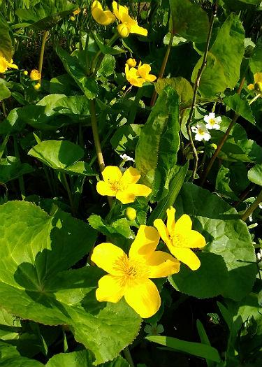 Caltha palustris var.palustris