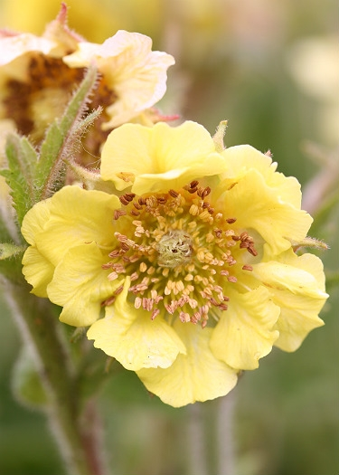 Geum 'Stacey's Sunrise'
