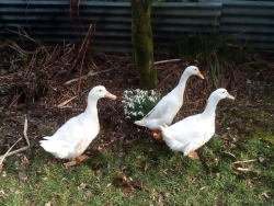 Ducks, Pond Plants and Pest Control